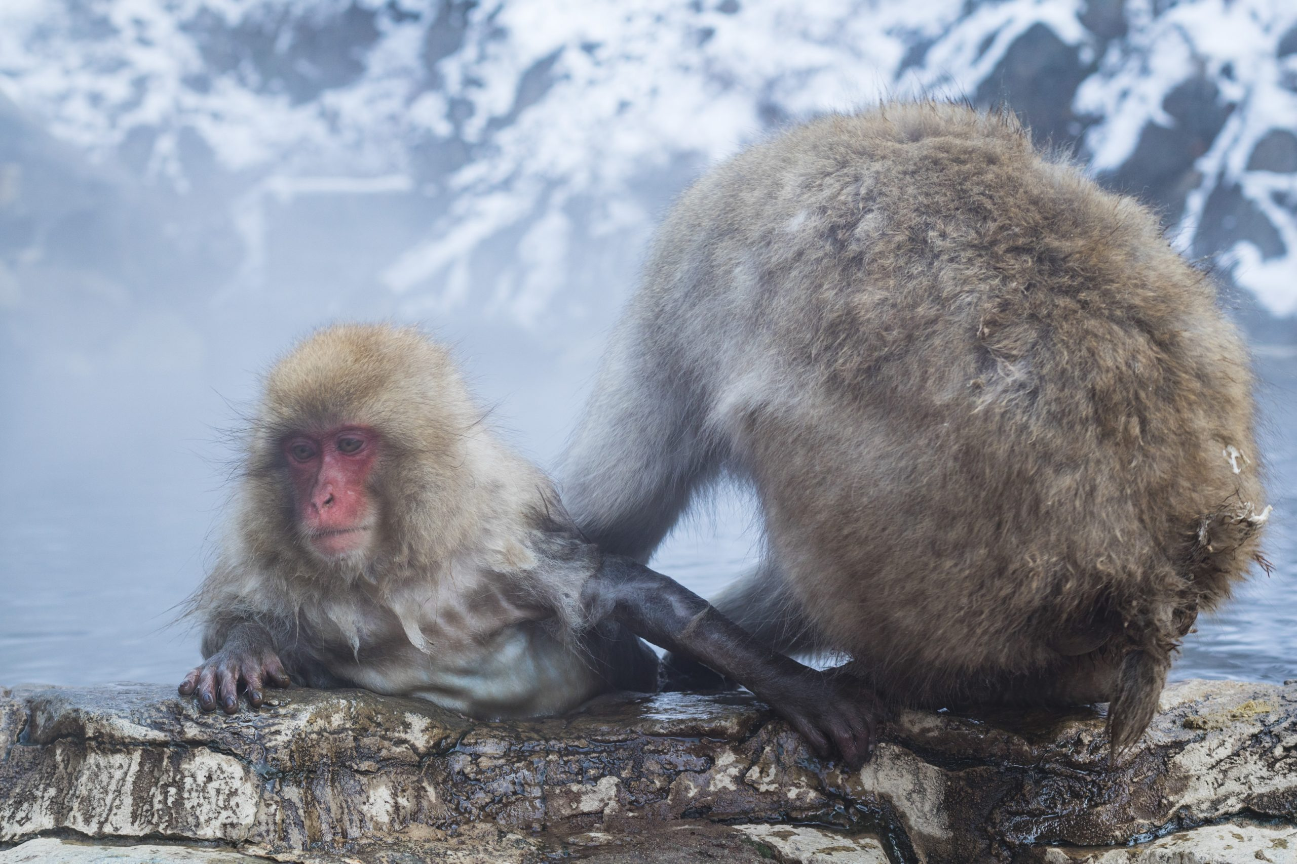 snow moneky japanese macaque