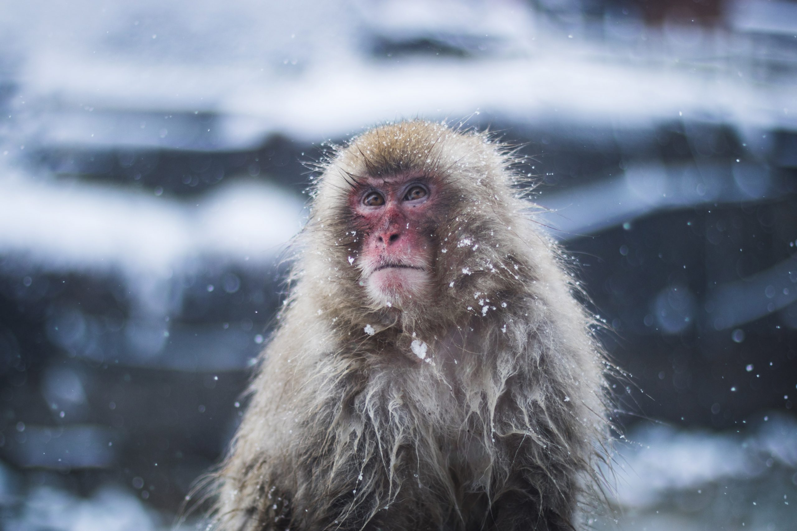 monkey in snow japanese macaque